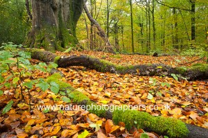 Decaying wood and fallen autumn leaves on the forest floor at Sa