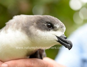 Bermuda Petrel being monitored