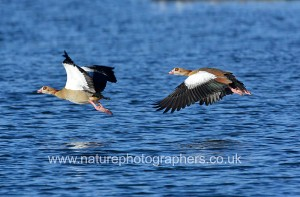 Egyptian Geese Flying over Pen Ponds