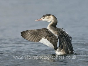 Great Crested Grebe Podiceps cristatus wing-stretching