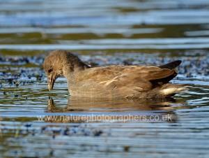 Juvenile Moorhen on Pen Ponds