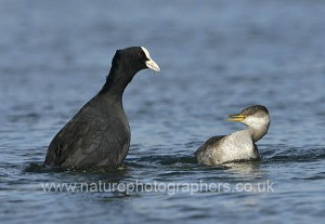 Red-necked Grebe Podiceps grisigena interacting with an aggressive Coot Fulica atra