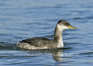 Red-necked Grebe Podiceps grisigena