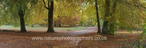 Autumn colours in Savernake Forest, Marlborough, Wiltshire