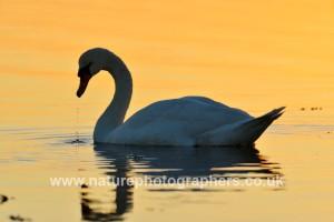 Mute Swan Cygnus olor ©Robert Read/Nature Photographers Ltd