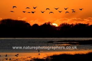 Brent Goose Branta bernicla ©Robert Read/Nature Photographers Ltd