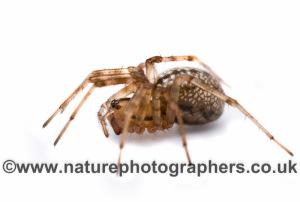 Stemonyphantes lineatus. Linyphiidae. Female.