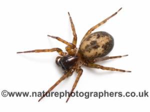Amaurobius similis -  female