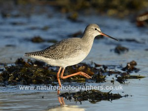 Spotted Redshank - Tringa erythropus  ©Paul Sterry/Nature Photographers Ltd