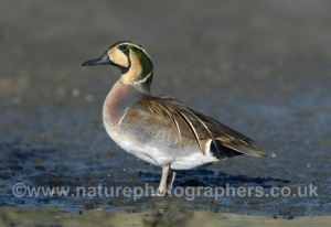 Baikal Teal - Anas formosa - Male.