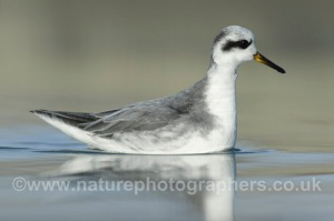 Grey Phalarope - Phalaropus lobatus - Winter Adult. Photographed at close quarters in Hove.