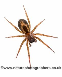 Amaurobius fenestralis - Female. Part of the Evan Jones spider collection.