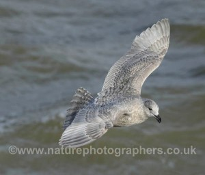 This juvenile Kumlien's Gull was a regular sight on the south coast at Littlehampton this winter.