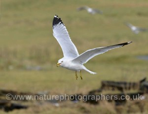 Ring-billed Gulls also made an appearance this winter.
