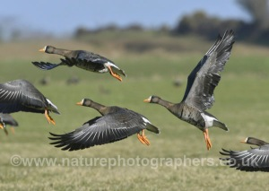 Greenland White-fronted Goose - Anser albifrons flavirostris