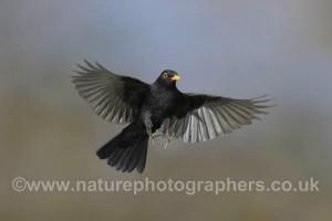 Blackbird Turdus merula - Male