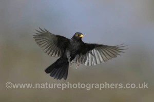 Blackbird Turdus merula - Male