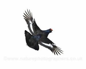 Black Grouse in flight - Tetrao tetrix