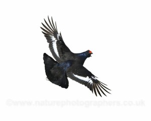 Black Grouse in flight - Tetrao tetrix