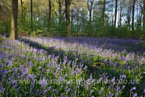 Bluebells in Micheldever Woods, Hampshire - Hycanithoides non-scripta