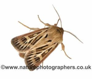 Antler Moth - Cerapteryx graminis