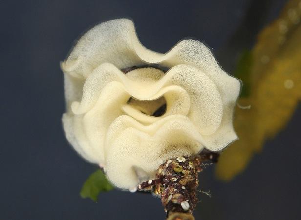 Sea Lemon - Archidoris pseudargus