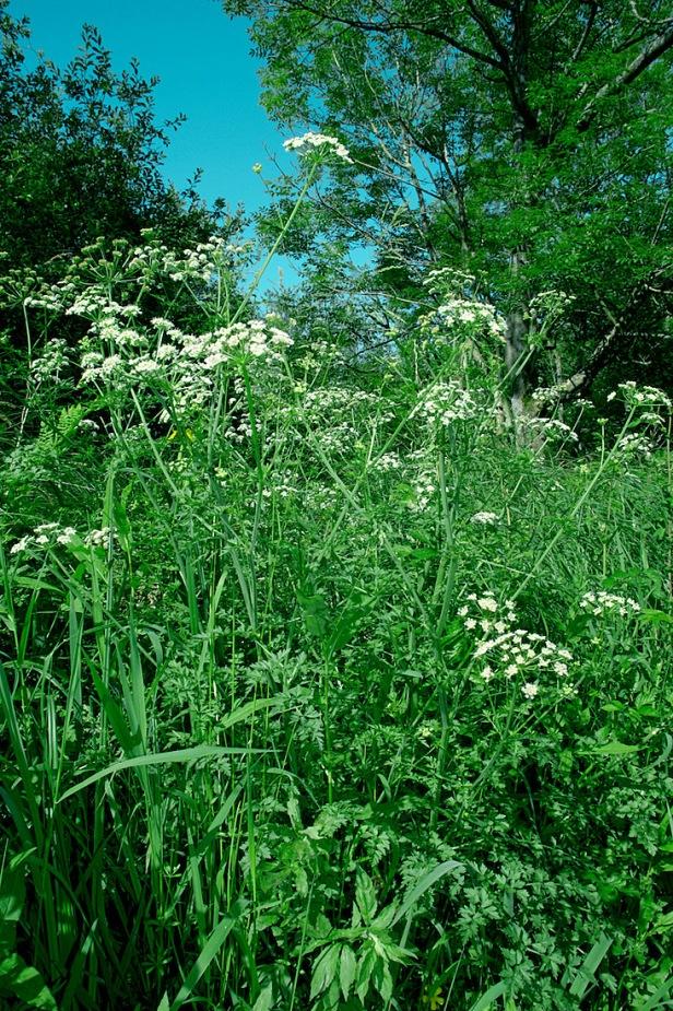 Hemlock Water-dropwort - Oenanthe crocata