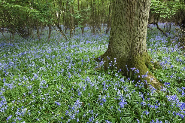 Bluebell Wood - Hyacinthoides non-scripta