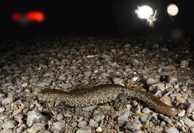 gc newt 1