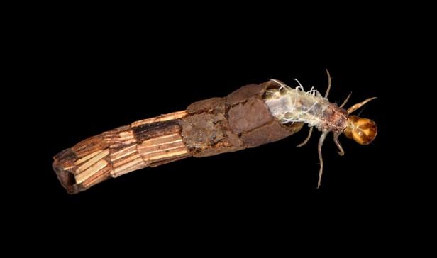 hagenella larva