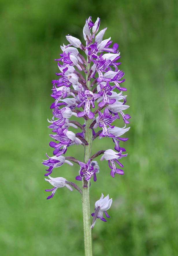 Military Orchid - Orchis militaris
