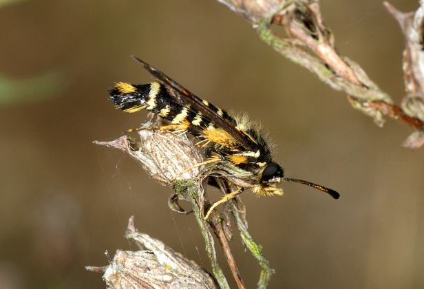 Six-belted Clearwing - Bembecia ichneumoniformis