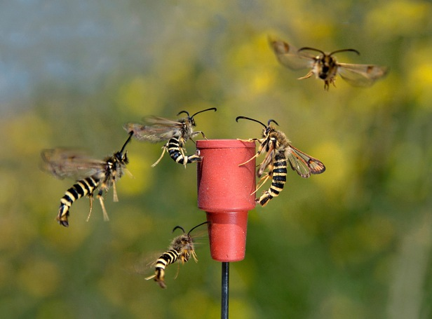 Six-belted Clearwings Flying - Bembecia ichneumoniformis