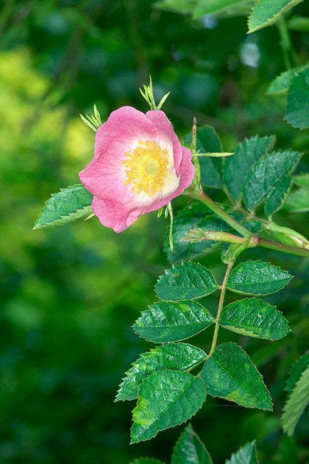 Sweet Briar - Rosa rubiginosa