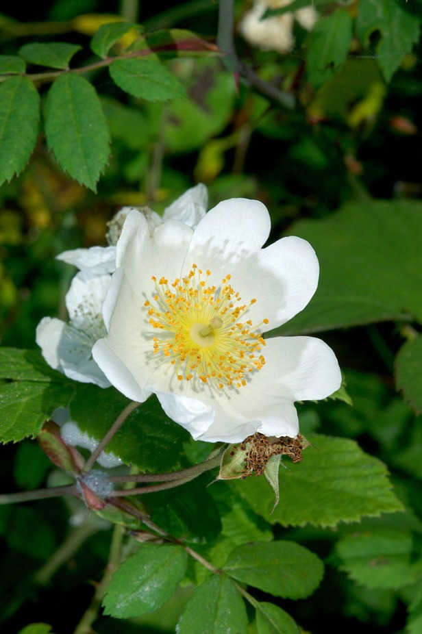 Field Rose - Rosa arvensis