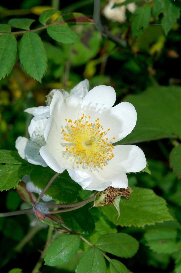 Field Rose - Rosa arvensis