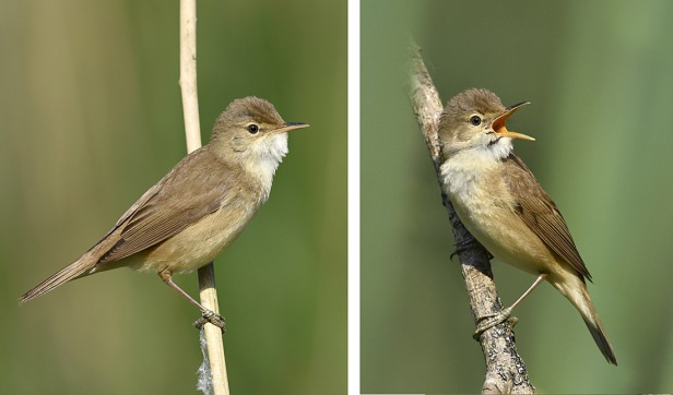 Whatever Happened To Marsh Warblers By Paul Sterry