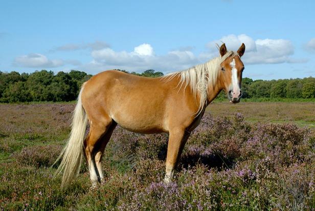 New Forest Pony - Equus ferus caballus