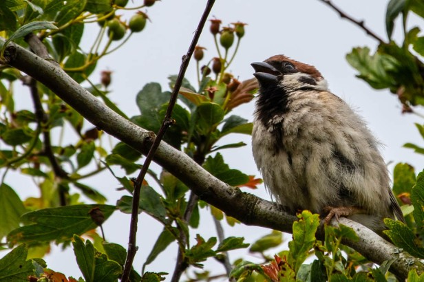 Tree Sparrow 4-July2019-20