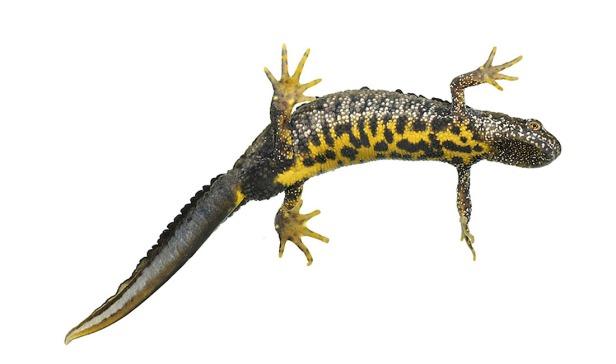 great crested newt - Triturus cristatus