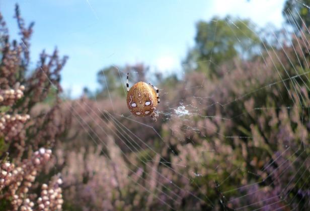 Photo 9 - 4 spot orb weaver