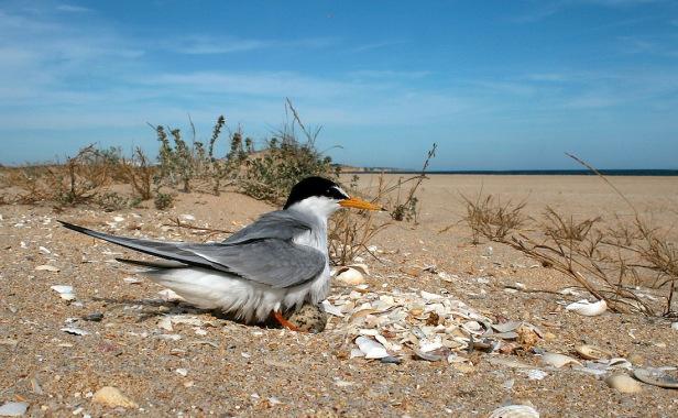 Little Tern - Sterna albifrons